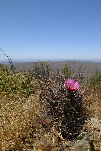 Echinocereus lindsayi, Mexico, Baja California, Catavina