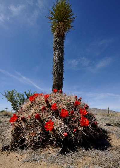 Echinocereus mojavensis, USA, California, Joshua Tree National Park