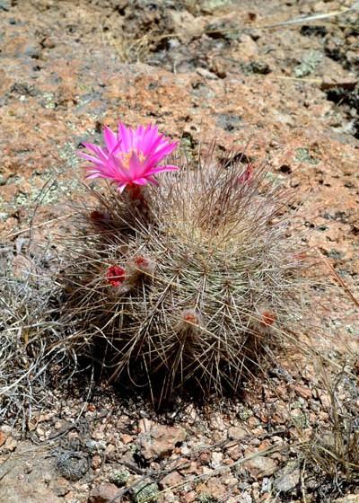 Echinocereus adustus subsp. roemerianus, Mexico, Durango, Canatlan
