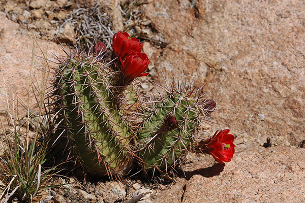 Echinocereus arizonicus, USA, Arizona, Pinal / Gila County