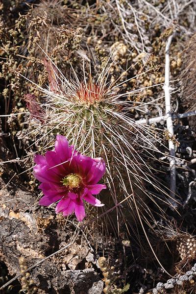 Echinocereus bonkerae subsp. apachensis, USA, Arizona, Maricopa County, Apache Trail