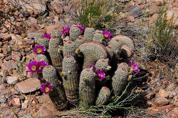 Echinocereus bonkerae, USA, Arizona, Gila County