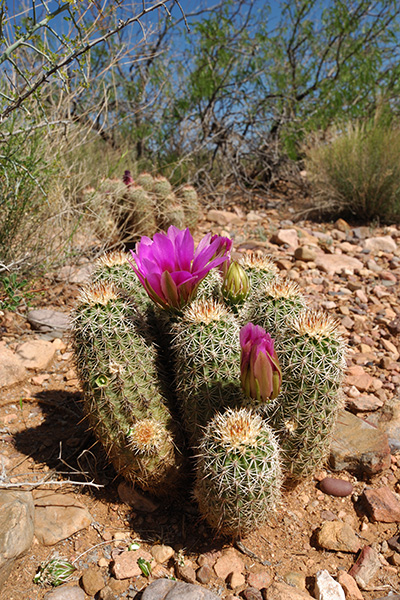 Echinocereus bonkerae, USA, Arizona, Gila County