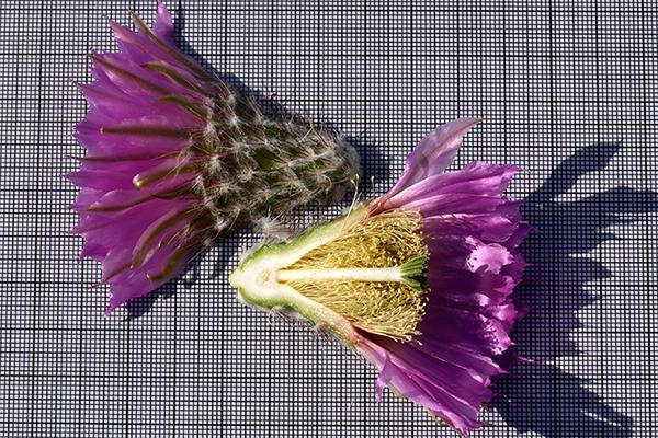 Echinocereus reichenbachii subsp. baileyi, USA, Oklahoma, Comanche County