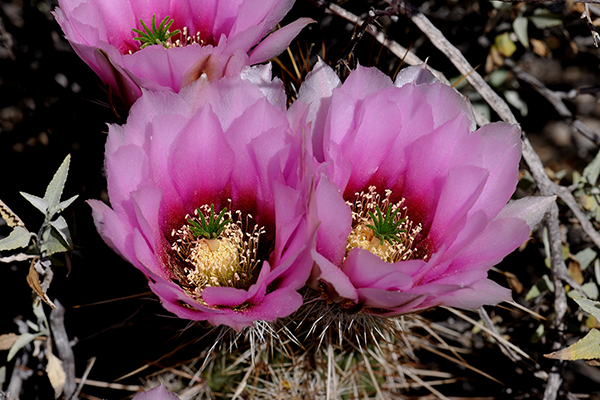 Echinocereus engelmannii, USA, Arizona, Pima County