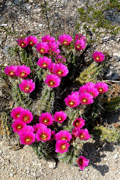 Echinocereus enneacanthus, Mexico, Coahuila, Abasolo