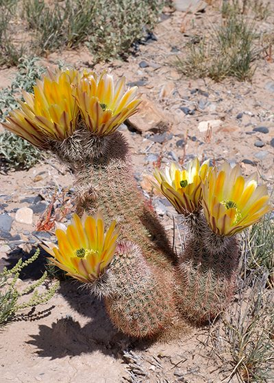Echinocereus dasyacanthus, Mexico, Chihuahua, Los Muertes