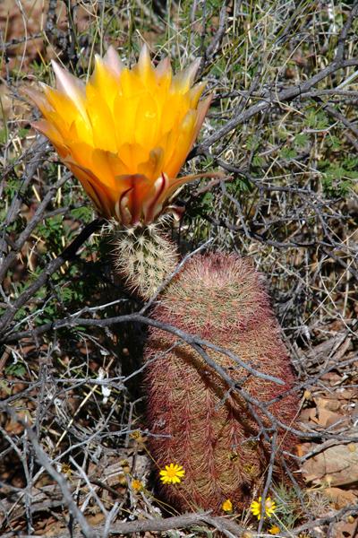 Echinocereus dasyacanthus subsp. multispinosus, Mexico, Chihuahua, Municipio Coyame del Sotol