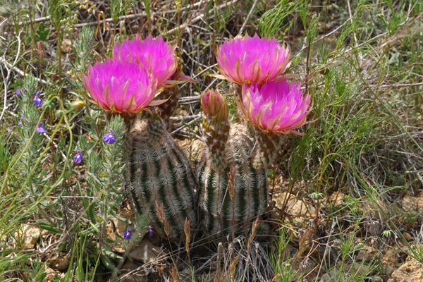 Echinocereus reichenbachii subsp. caespitosus, USA, Texas, Shackelford County
