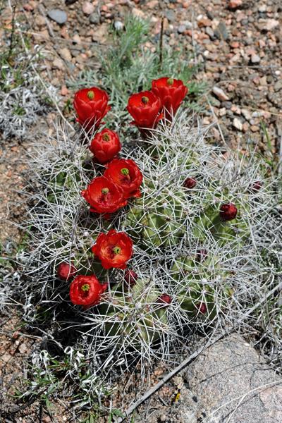 Echinocereus triglochidiatus, USA, Colorado, Fremont County