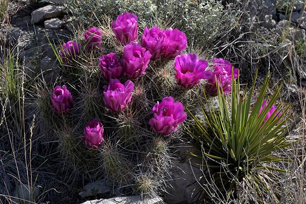 Echinocereus stramineus, USA, Texas, Pecos County