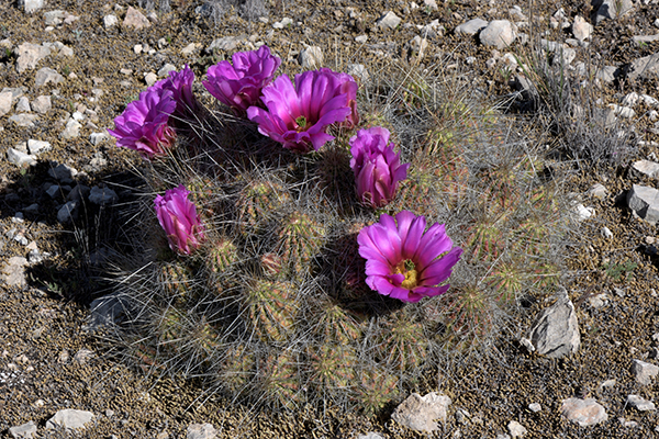 Echinocereus stramineus, USA, Texas, Pecos County
