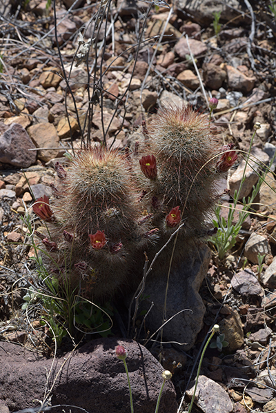 Echinocereus russanthus, USA, Texas, Brewster County