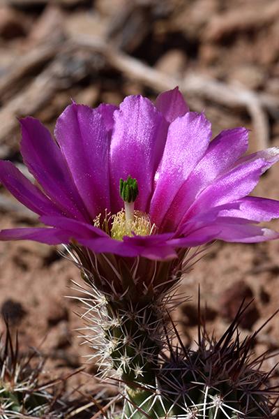 Echinocereus engelmannii, USA, Arizona, Coconino County