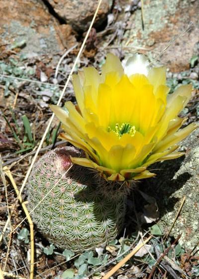 Echinocereus pectinatus subsp. rutowiorum, Mexcio, Chihuahua, Sierra el Tambor
