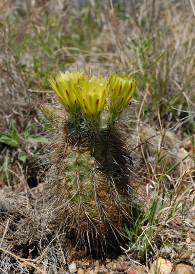 Echinocereus milleri, USA, Texas, Coke County