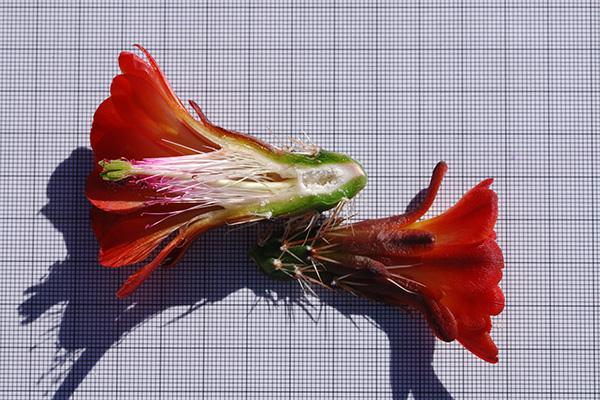 Echinocereus arizonicus, USA, Arizona, Pinal / Gila County