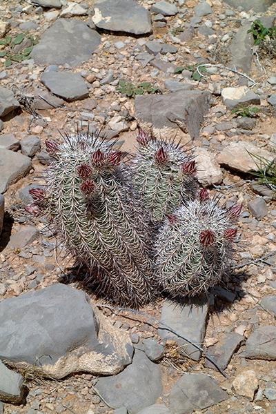 Echinocereus dasyacanthus subsp. rectispinus, Mexico, Chihuaha, Alamos de Pena