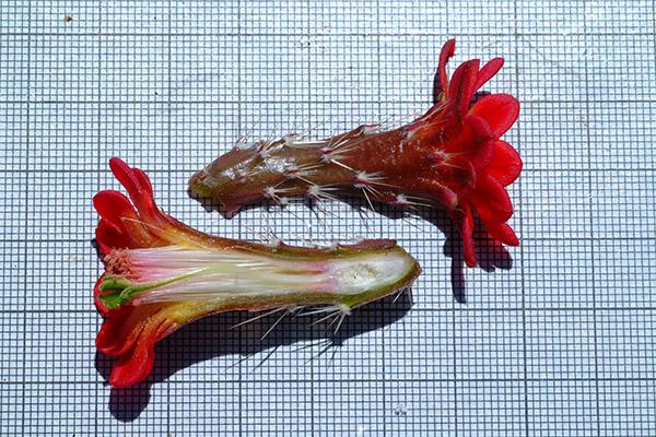 Echinocereus pacificus subsp. mombergerianus, Mexico, Baja California, Parque Sierra Pedro Martir