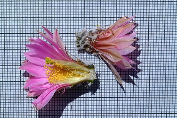 Echinocereus pulchellus subsp. weinbergii, Mexico, Zacatecas, El Arenal