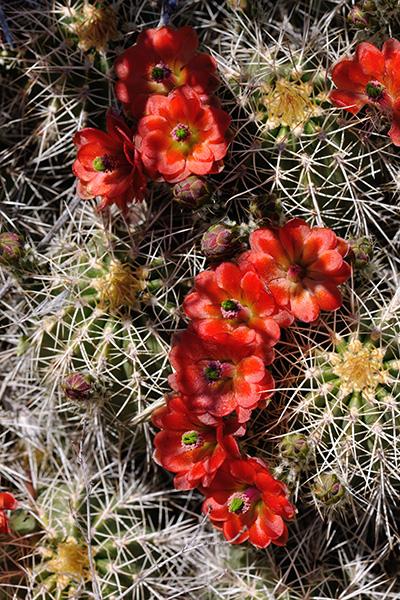 Echinocereus yavapaiensis, USA, Arizona, Yavapai County