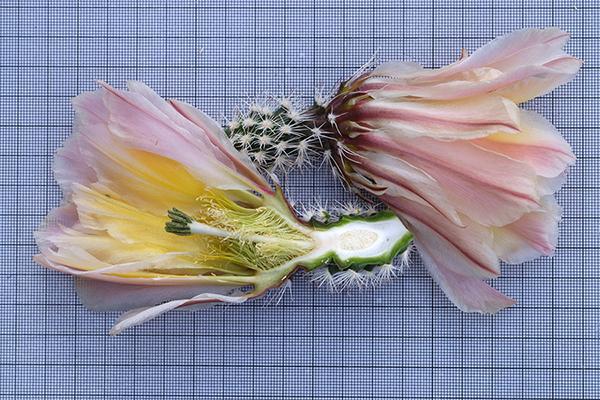 Echinocereus pectinatus subsp. rutowiorum, Mexico, Chihuahua, Sierra El Tambor