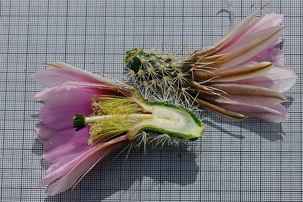 Echinocereus engelmannii, USA, Arizona, Pima County