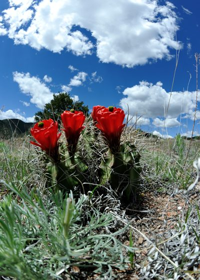 Echinocereus triglochidiatus, USA, Colorado, Fremont County