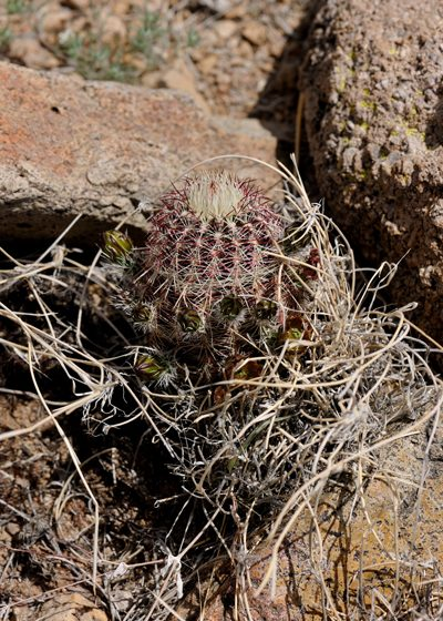 Echinocereus chloranthus, USA, New Mexico, Dona Ana County