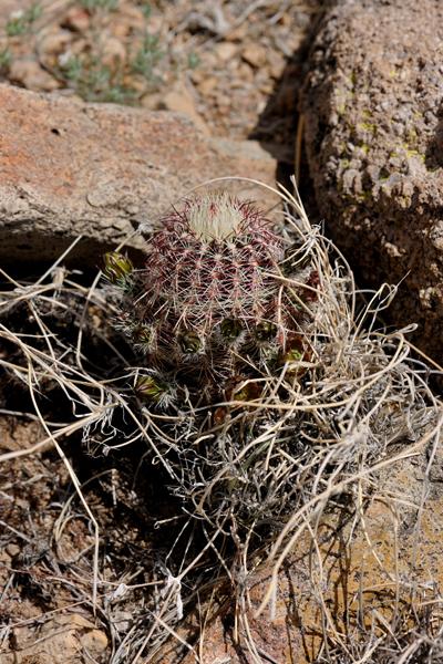 Echinocereus chloranthus, USA, New Mexico, Dona Ana County