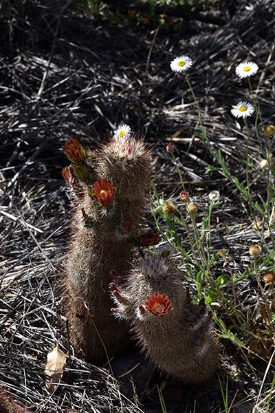 Echinocereus russanthus, USA, Texas, Brewster County