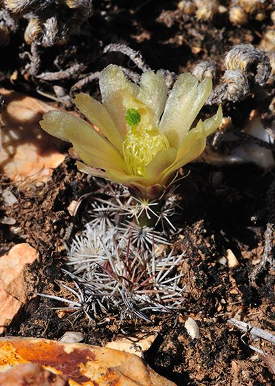 Echinocereus davisii, USA, Texas, Brewster County