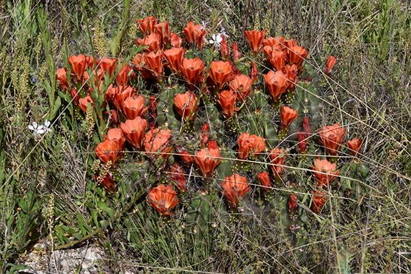 Echinocereus coccineus subsp. gurneyi, USA, Texas, Terrell County