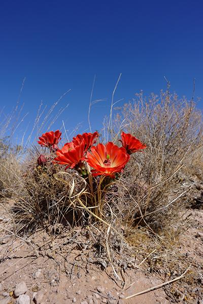 Echinocereus coccineus subsp. transpecosensis, USA, Texas, Hudspeth County