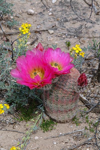"""Echinocereus pectinatus, Mexico, """"Delante"""""""