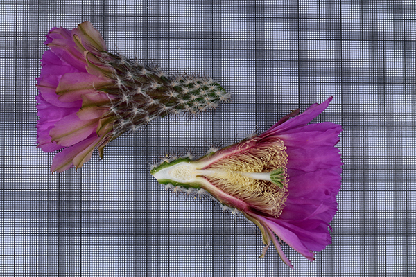 Echinocereus reichenbachii subsp. caespitosus, USA, Texas, Jack County