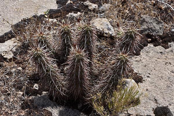 Echinocereus relictus, USA, Utah, Washington County
